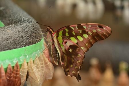 green jay: Atada de Jay mariposa emerge de su capullo.