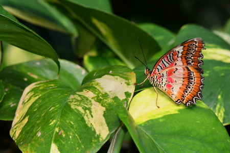 biblis: Red Lace wing butterfly resting on a plant. Stock Photo
