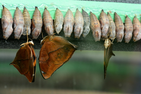emerge: Leaf wing butterflies emerge from their cocoons to start a new life. Stock Photo
