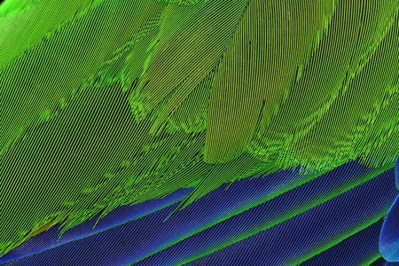 eclectus roratus: Eclectus parrot feathers abstract and close up.