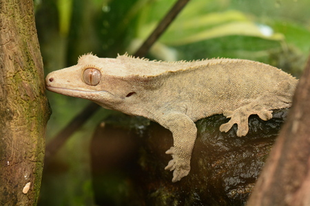 blooded: Gecko from Madagascar poses for its photo in the gardens for the annual calendar