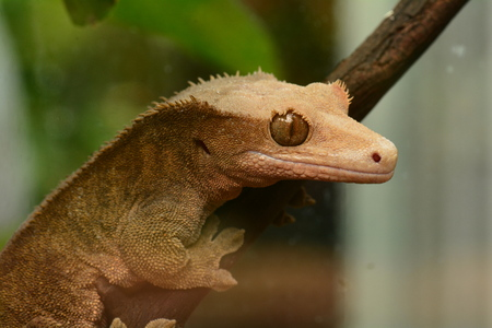 cold blooded: Gecko from Madagascar poses for its photo in the gardens.