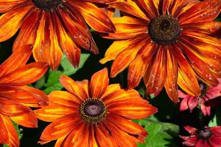 show off: Echinacea flowers show off their pretty blooms in the gardens.