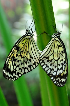 nymph: A pair of Tree nymph butterflies mating in the gardens. Stock Photo