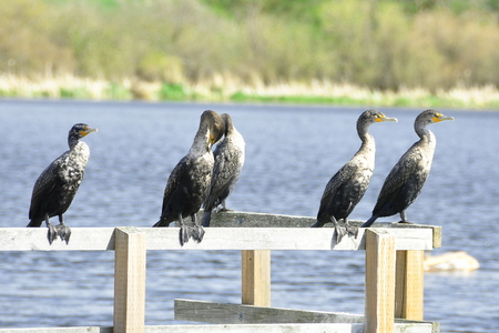 cormorants: Cormorants lined up on a dock drying off their plumage. Stock Photo