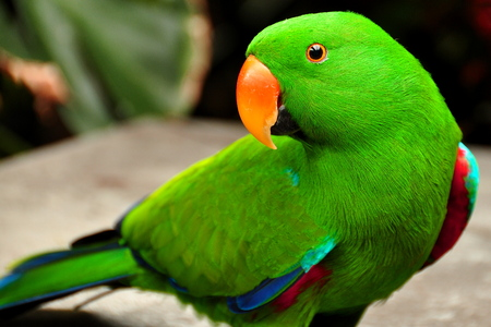 eclectus parrot: Eclectus parrot poses for its photo showing off how pretty he is. Stock Photo