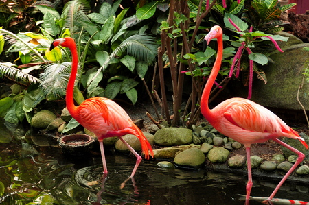 full bodied: A Pair of Pink Flamingos wading through the water Stock Photo