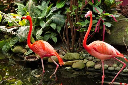 florida flamingo: A Pair of Pink Flamingos wading through the water Stock Photo