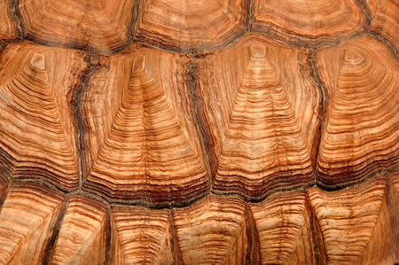 cold blooded: African spurred tortoise carapace. Stock Photo