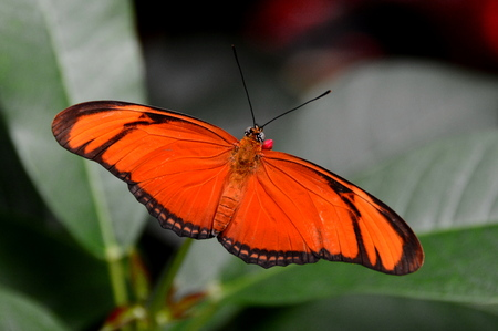 flambeau: Orange Julia butterfly arrives at the gardens. Stock Photo