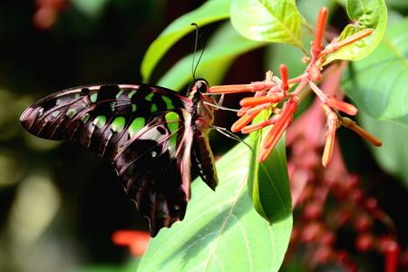 green jay: Atada de Jay mariposa se alimenta de n�ctar en los jardines.