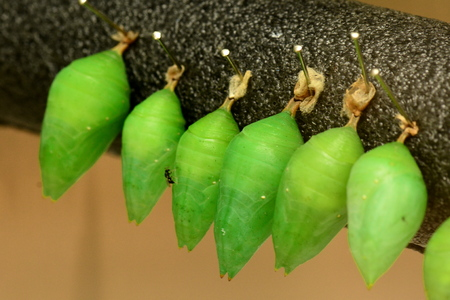 emerge: Morpho cocoons lined up waiting for butterflies to emerge