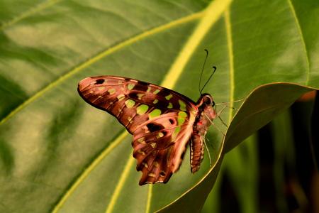 green jay: Atado tierras mariposa Jay en los jardines para descansar Foto de archivo