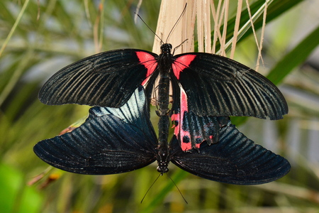 reproducing: A pair of mating butterflies keep the life cycle going.