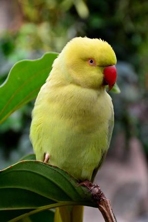 necked: Indiase ring necked papegaai portret.