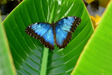 Blue Morpho butterfly displays its blue iridescence,