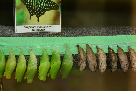 lepidoptera: Butterfly cocoons lined up waiting for emerging day. Stock Photo