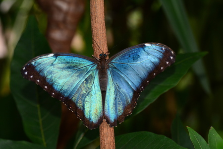 lepidoptera: Blue Morpho butterfly spreading its beauty in the gardens. Stock Photo