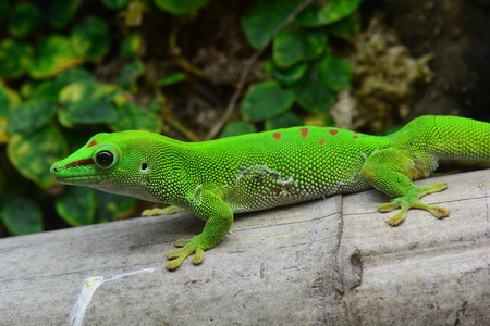 cold blooded: Madagascar Day gecko portrait. Stock Photo