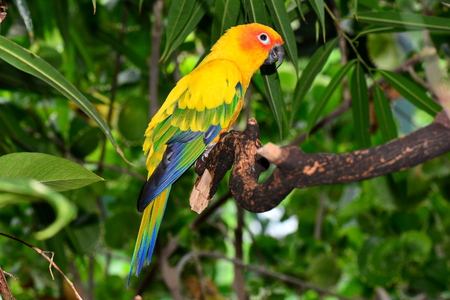 Sun Conure parrot resting on its perch. photo