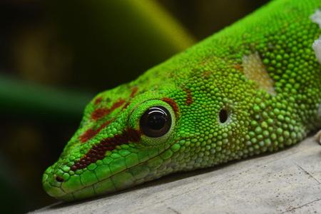 blooded: Madagascar Day Gecko portrait.