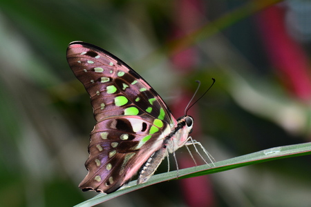 Tailed Jay butterfly lands in the gardens photo