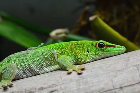 reptilian: Madagascar Day gecko portrait. Stock Photo
