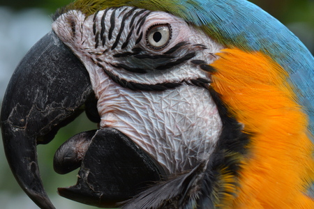 the ornithology: South American macaw portrait