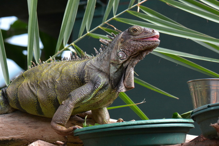 cold blooded: An iguana poses for its portrait in the gardens.