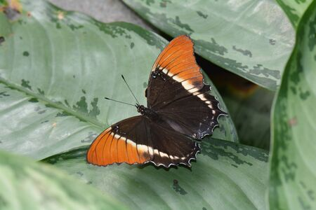 tipped: A Rusty Tipped Page butterfly lands in the butterfly gardens