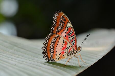 lacewing: Red Lacewing butterfly lands in the gardens.