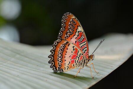 chrysope: Terres Lacewing de papillons rouges dans les jardins.