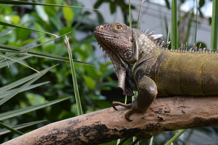 blooded: An Iguana poses for its portrait in the gardens.