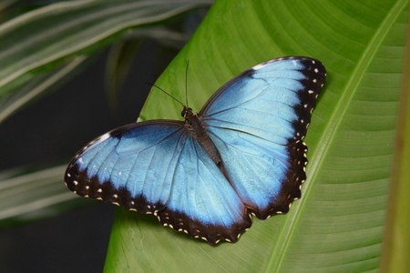 wingspan: Blue Morpho butterfly spreading its beauty in the gardens. Stock Photo