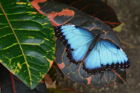 displays: Blue Morpho butterfly displays its blue iridescence,