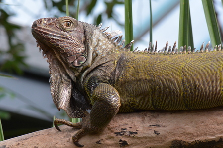 reptilian: An iguana poses for its portrait in the gardens.