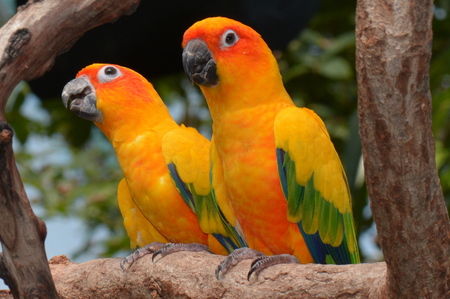 lovebirds: A Pair of Sun Conures looking pretty.