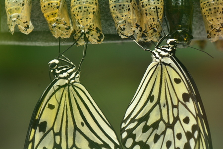 cocoons: Tree nymph butterflies emerge from their cocoons in the gardens. Stock Photo