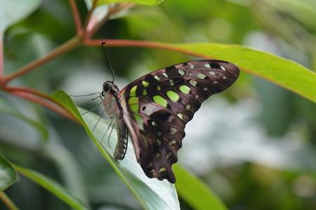 green jay: Una mariposa atada de Jay aterriza en los jardines de mariposas.