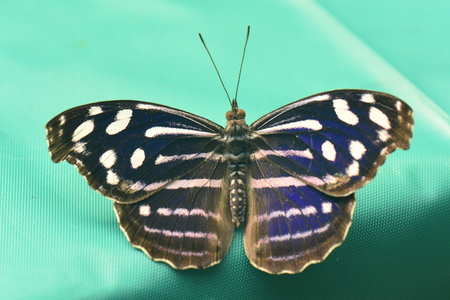 fruit eater: A Cyaniris Bluewing butterfly lands at the gardens table. Stock Photo