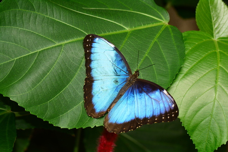 fruit eater: Blue Morpho butterfly spreading its beauty in the gardens. Stock Photo