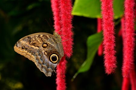 fruit eater: Owl Butterfly hanging out in the gardens.