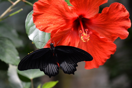 lepidoptera: Mormon butterfly lands in the gardens and spreads its wings