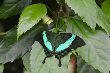 wingspan: Emerald swallowtail butterfly lands in the gardens. Stock Photo