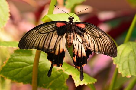 wingspan: Asian Swallowtail butterfly