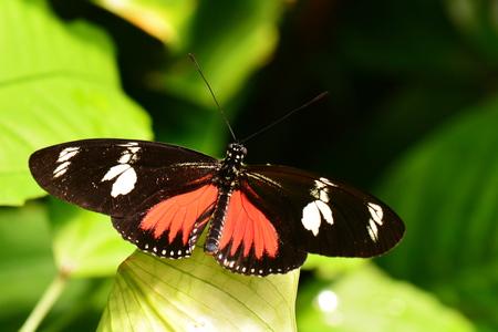 Doris Long wing butterfly Banco de Imagens