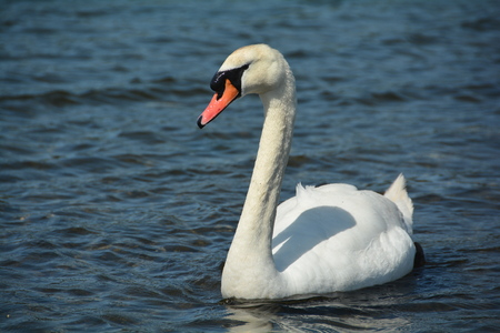 trumpeter swan: Trumpeter Swan on the water Stock Photo