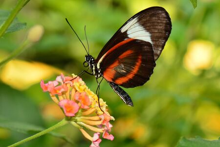 Black and White long wing butterfly lands on a flower for some nectar. Imagens