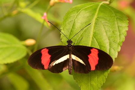 Postman butterfly in the gardens.
