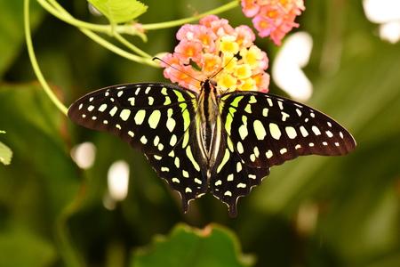green jay: Una mariposa atada de Jay aterriza en la mesa de restaurante.